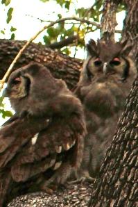 eagle owls 2