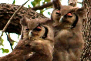 Eagle owls in KNP