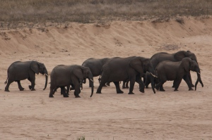 elephant herd on the bank of the crocodile river - july 2013